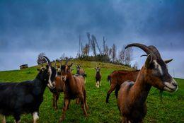 Eine Herde Ziegen auf einem grünen Hügel
